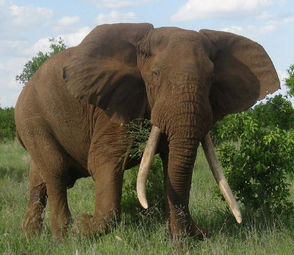 elefant bild artenschutz debatte elefanten population. Black Bedroom Furniture Sets. Home Design Ideas