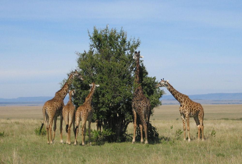 hur hög är en giraff